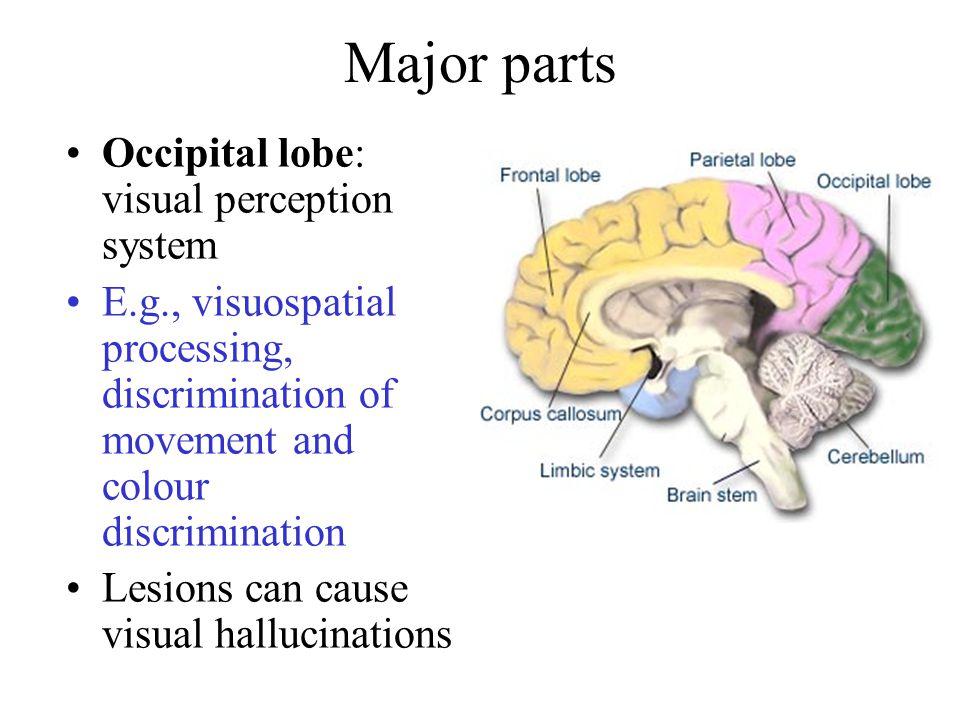 Occipital lobe: visual perception system E.g., visuospatial processing, discrimination of movement and colour discrimination Lesions can cause visual hallucinations