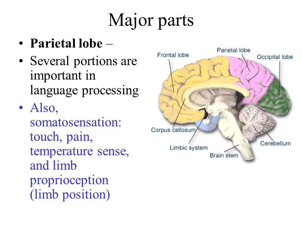 Major parts Parietal lobe – Several portions are important in language processing Also, somatosensation: touch, pain, temperature sense, and limb proprioception (limb position)