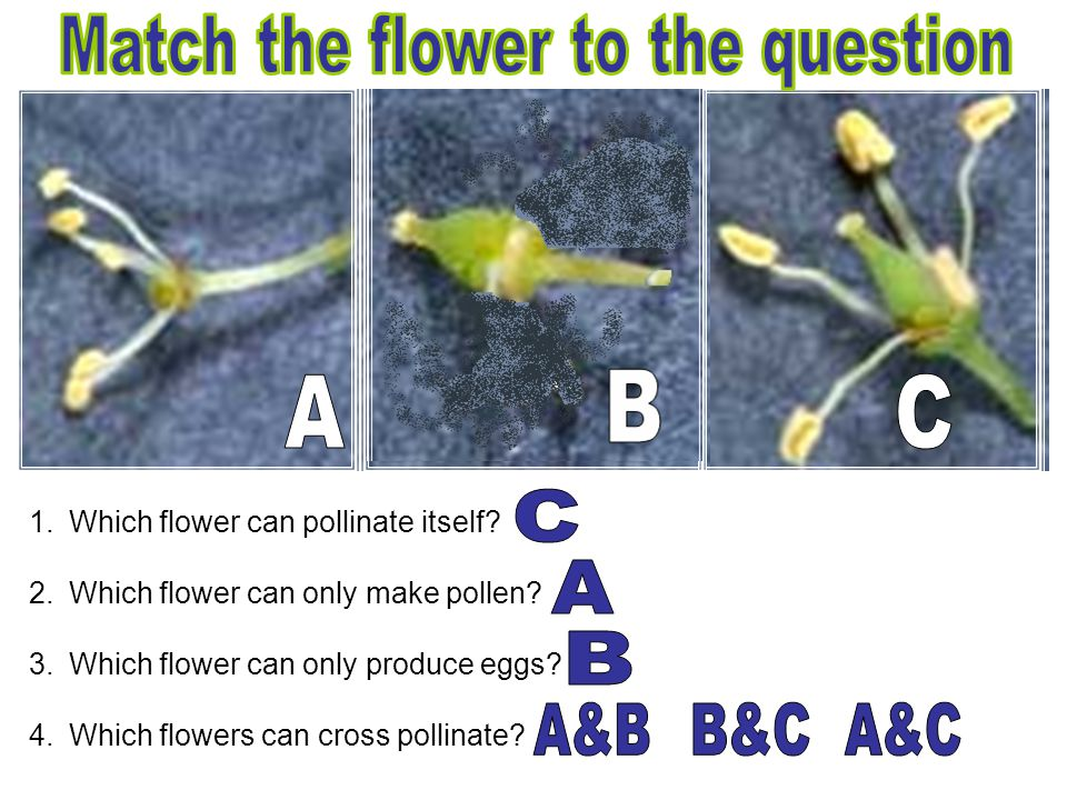 1.Which flower can pollinate itself? 2.Which flower can only make pollen? 3.Which flower can only produce eggs? 4.Which flowers can cross pollinate?
