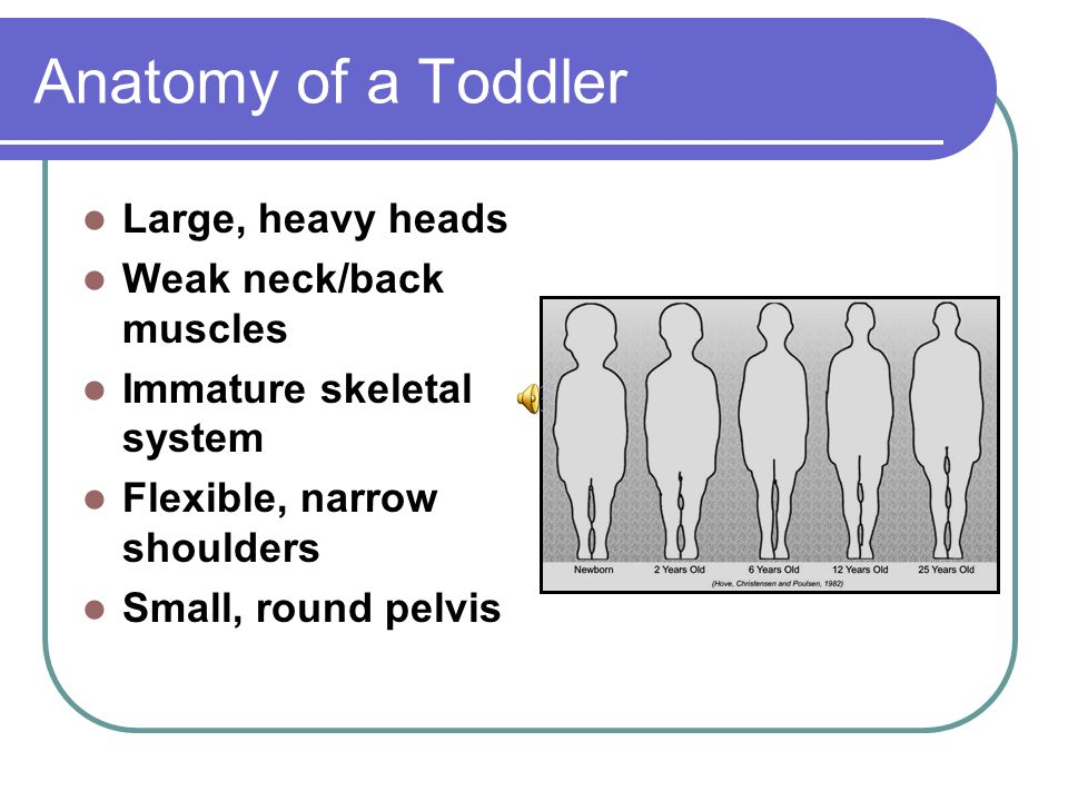 Anatomy of a Toddler Large, heavy heads Weak neck/back muscles Immature skeletal system Flexible, narrow shoulders Small, round pelvis