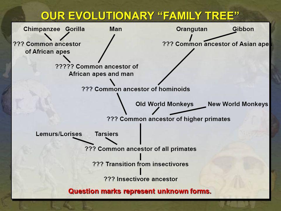 Chimpanzee Gorilla ManOrangutan Gibbon ??? Common ancestor ??? Common ancestor of Asian apes of African apes ????? Common ancestor of African apes and