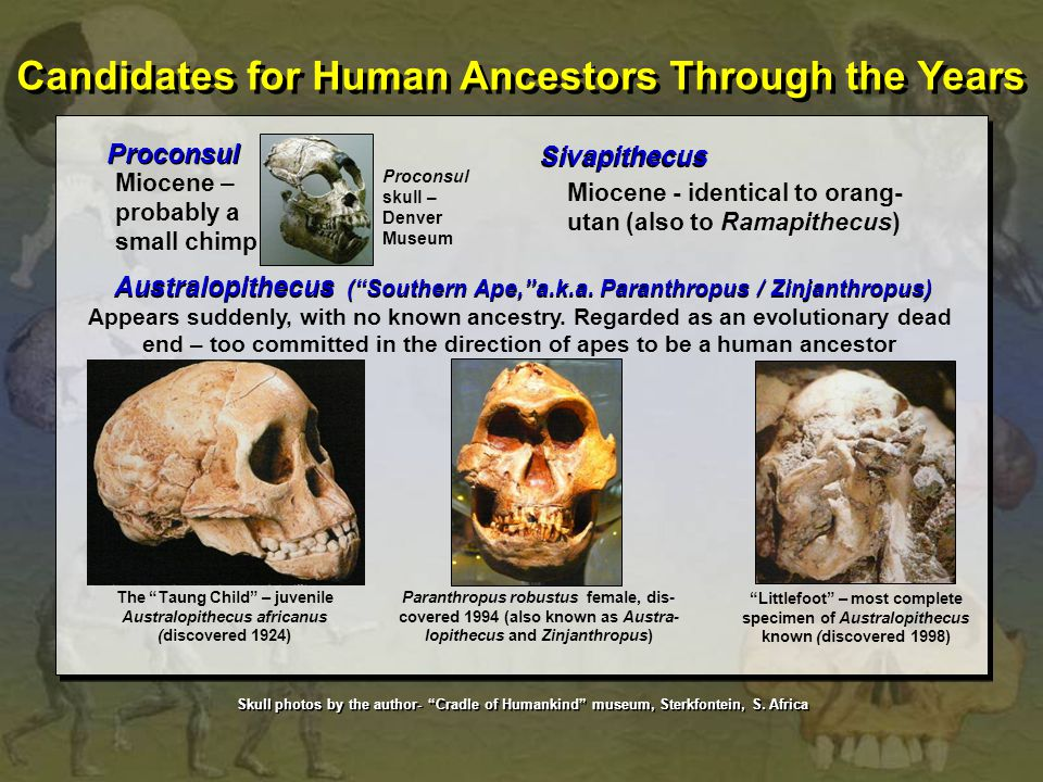 Proconsul Proconsul skull – Denver Museum Miocene – probably a small chimp Sivapithecus Miocene - identical to orang- utan (also to Ramapithecus) Aust