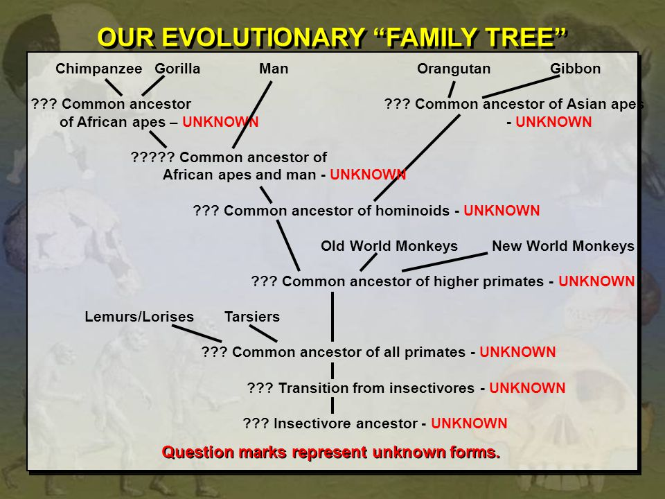Chimpanzee Gorilla ManOrangutan Gibbon ??? Common ancestor ??? Common ancestor of Asian apes of African apes – UNKNOWN - UNKNOWN ????? Common ancestor