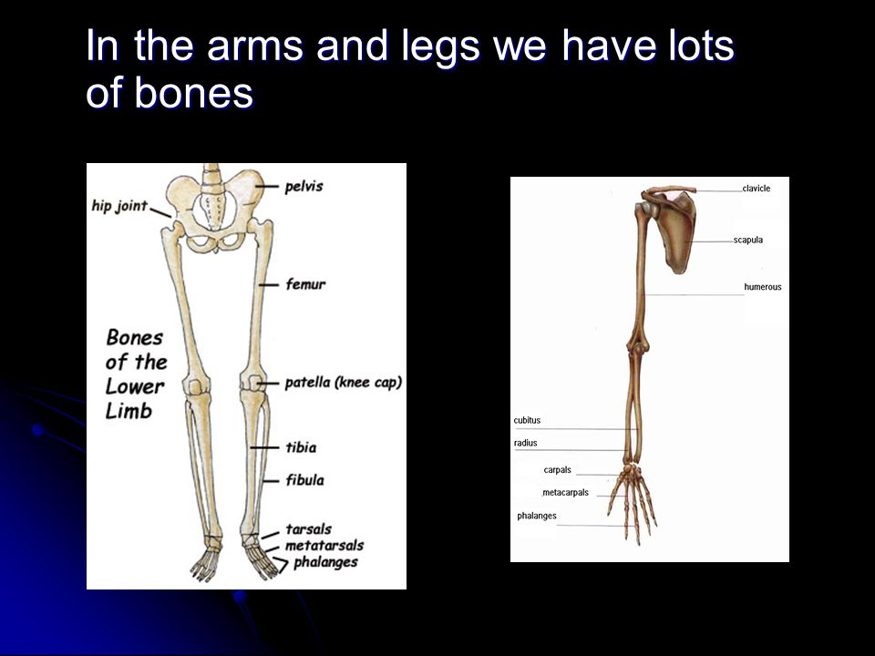 In the arms and legs we have lots of bones In the arms and legs we have lots of bones