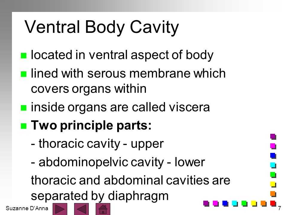 Suzanne D Anna7 Ventral Body Cavity n located in ventral aspect of body n lined with serous membrane which covers organs within n inside organs are called viscera n Two principle parts: - thoracic cavity - upper - abdominopelvic cavity - lower thoracic and abdominal cavities are separated by diaphragm