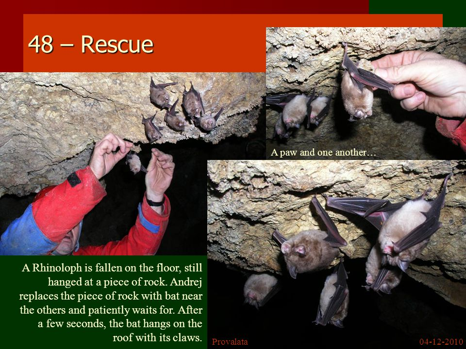 48 – Rescue A Rhinoloph is fallen on the floor, still hanged at a piece of rock.