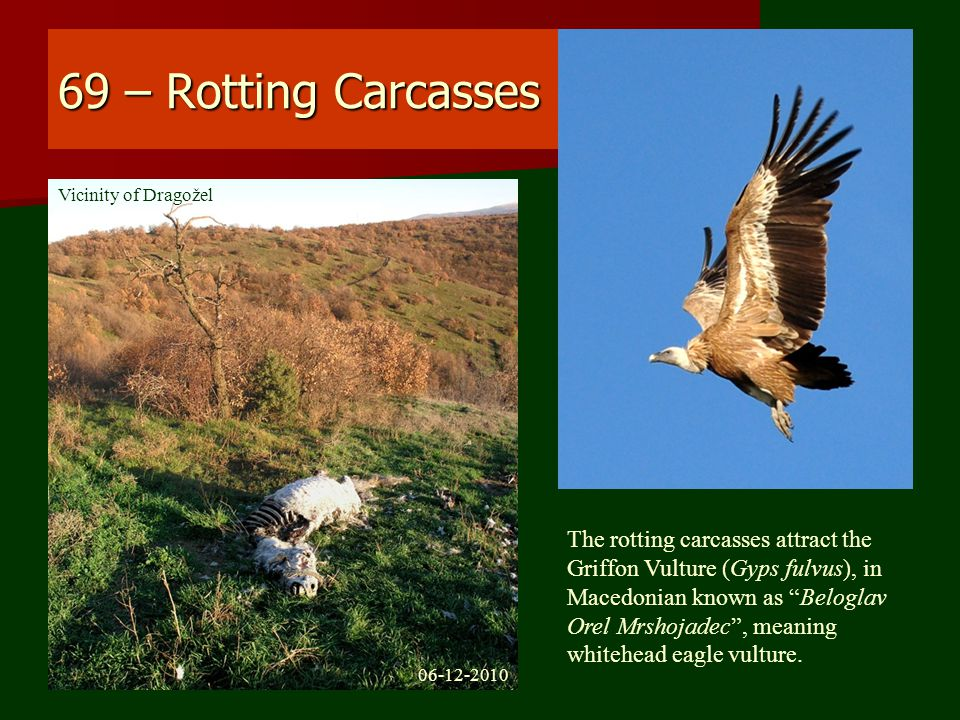 69 – Rotting Carcasses The rotting carcasses attract the Griffon Vulture (Gyps fulvus), in Macedonian known as Beloglav Orel Mrshojadec , meaning whitehead eagle vulture.