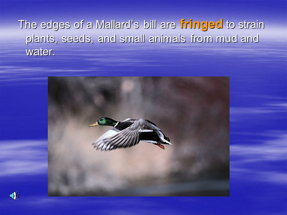 The edges of a Mallard's bill are fringed to strain plants, seeds, and small animals from mud and water.