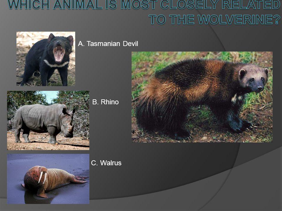 A. Tasmanian Devil B. Rhino C. Walrus
