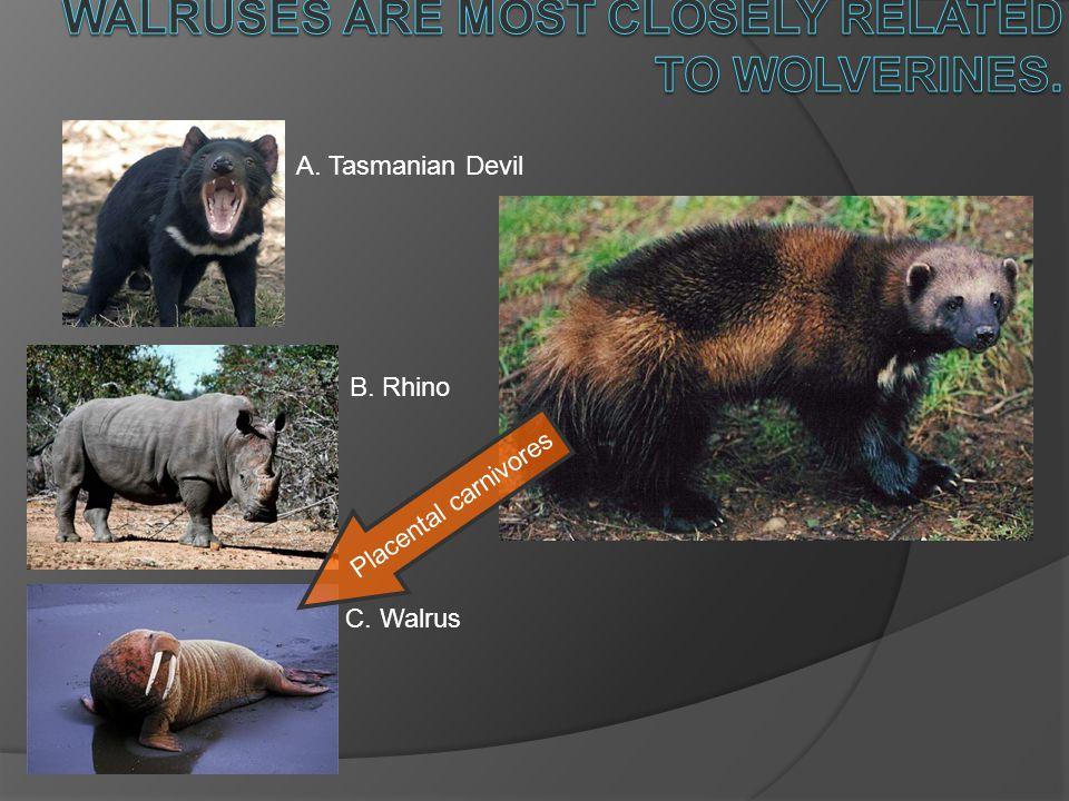 A. Tasmanian Devil B. Rhino C. Walrus Placental carnivores