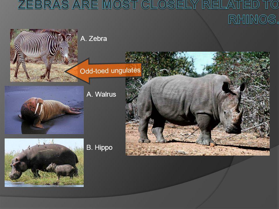 A. Walrus B. Hippo A. Zebra Odd-toed ungulates