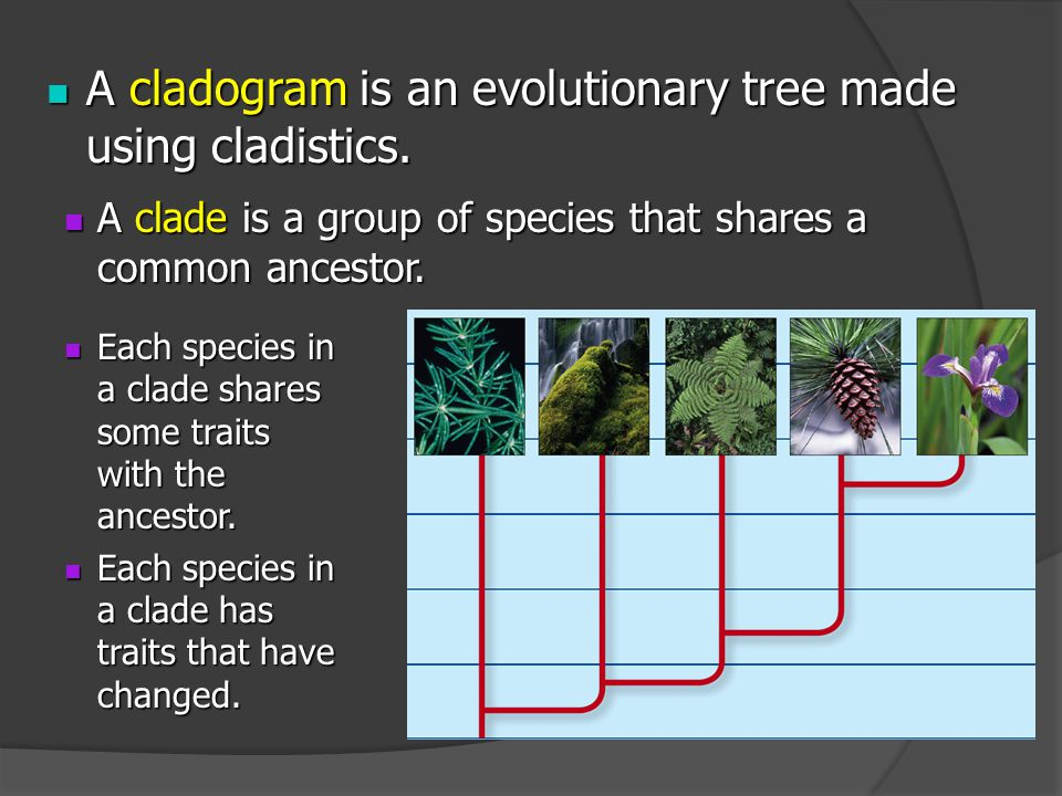 A cladogram is an evolutionary tree made using cladistics.