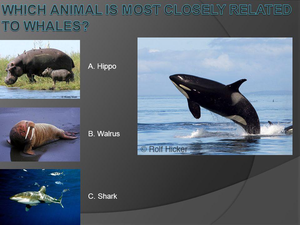 A. Hippo B. Walrus C. Shark