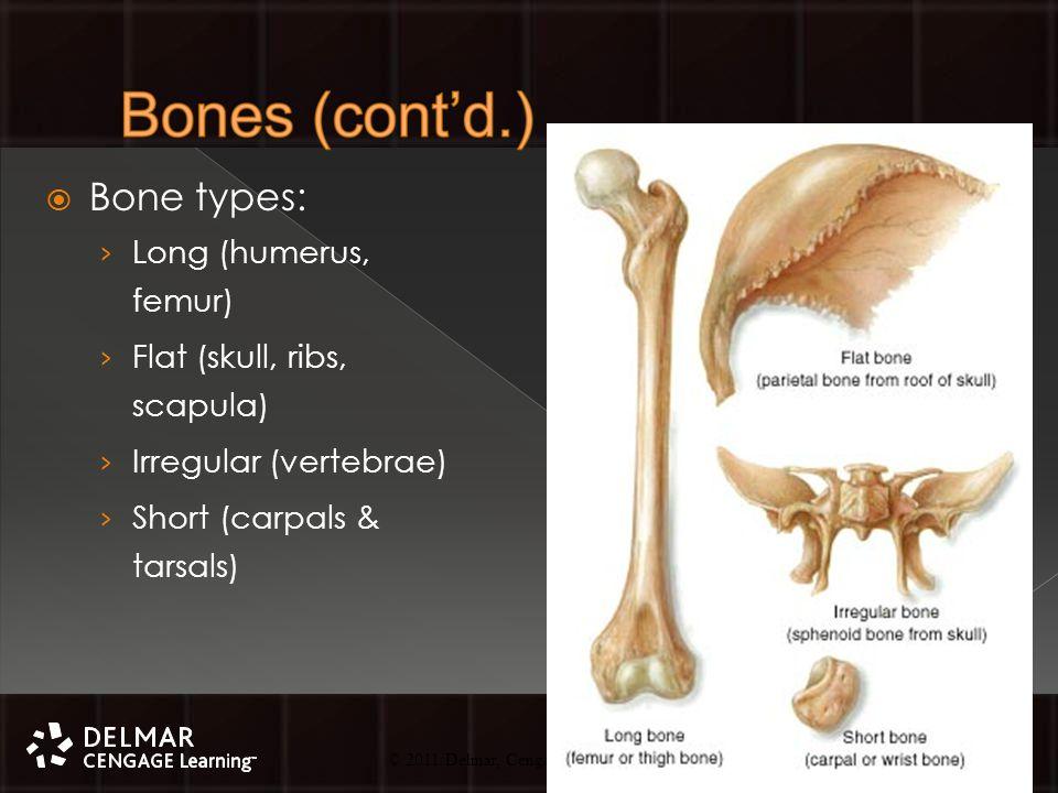 © 2010 Delmar, Cengage Learning 14 © 2011 Delmar, Cengage Learning  Bone types: › Long (humerus, femur) › Flat (skull, ribs, scapula) › Irregular (vertebrae) › Short (carpals & tarsals)