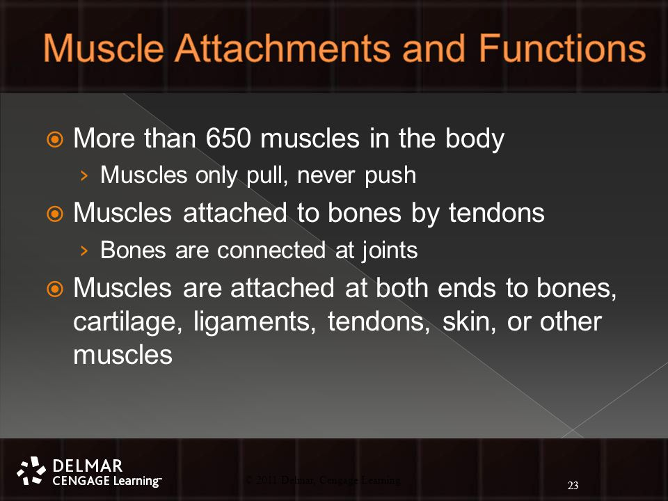 © 2010 Delmar, Cengage Learning 23 © 2011 Delmar, Cengage Learning  More than 650 muscles in the body › Muscles only pull, never push  Muscles attached to bones by tendons › Bones are connected at joints  Muscles are attached at both ends to bones, cartilage, ligaments, tendons, skin, or other muscles 23