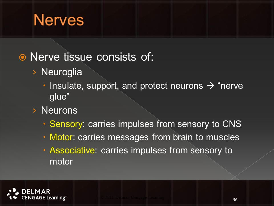 © 2010 Delmar, Cengage Learning 36 © 2011 Delmar, Cengage Learning  Nerve tissue consists of: › Neuroglia  Insulate, support, and protect neurons  nerve glue › Neurons  Sensory: carries impulses from sensory to CNS  Motor: carries messages from brain to muscles  Associative: carries impulses from sensory to motor 36