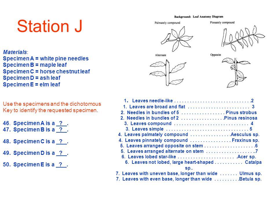 Station J Materials: Specimen A = white pine needles Specimen B = maple leaf Specimen C = horse chestnut leaf Specimen D = ash leaf Specimen E = elm l