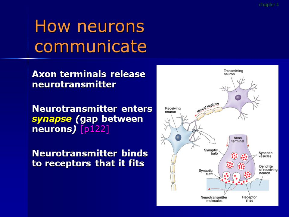 How neurons communicate Axon terminals release neurotransmitter Neurotransmitter enters synapse (gap between neurons) [p122] Neurotransmitter binds to receptors that it fits chapter 4