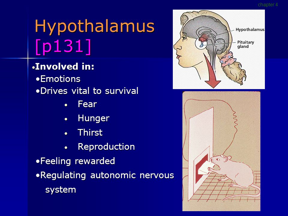 Hypothalamus [p131] Involved in: Involved in: EmotionsEmotions Drives vital to survivalDrives vital to survival Fear Fear Hunger Hunger Thirst Thirst Reproduction Reproduction Feeling rewardedFeeling rewarded Regulating autonomic nervousRegulating autonomic nervous system system chapter 4
