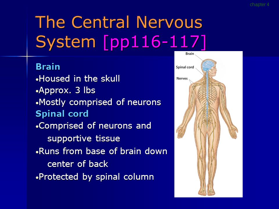 The Central Nervous System [pp116-117] Brain Housed in the skull Housed in the skull Approx.