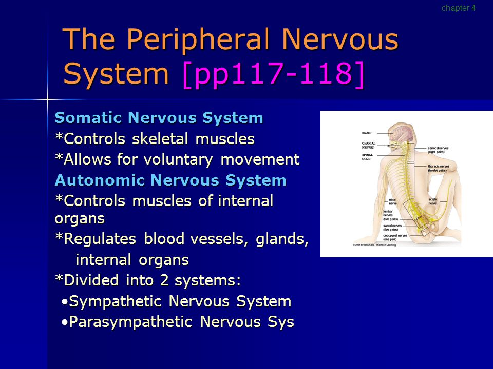 The Peripheral Nervous System [pp117-118] Somatic Nervous System *Controls skeletal muscles *Allows for voluntary movement Autonomic Nervous System *Controls muscles of internal organs *Regulates blood vessels, glands, internal organs internal organs *Divided into 2 systems: Sympathetic Nervous SystemSympathetic Nervous System Parasympathetic Nervous SysParasympathetic Nervous Sys chapter 4