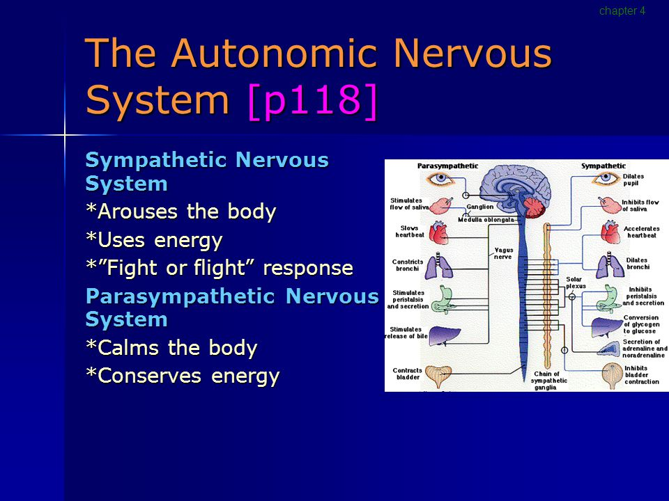The Autonomic Nervous System [p118] Sympathetic Nervous System *Arouses the body *Uses energy * Fight or flight response Parasympathetic Nervous System *Calms the body *Conserves energy chapter 4