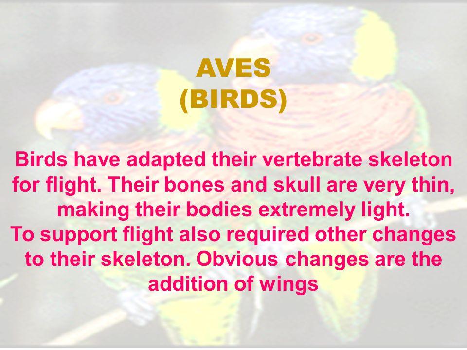 Birds have adapted their vertebrate skeleton for flight.