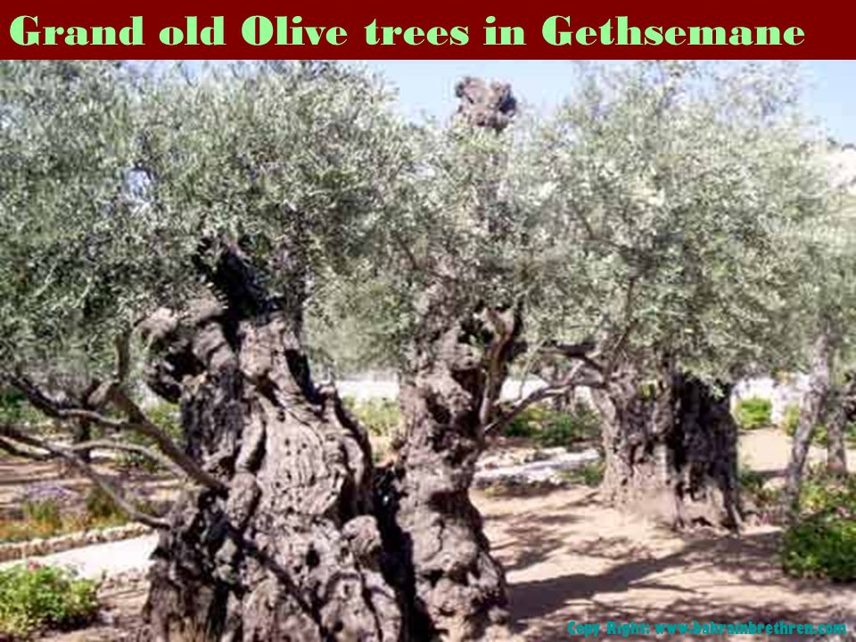 Grand old Olive trees in Gethsemane Copy Right: www.bahrainbrethren.com