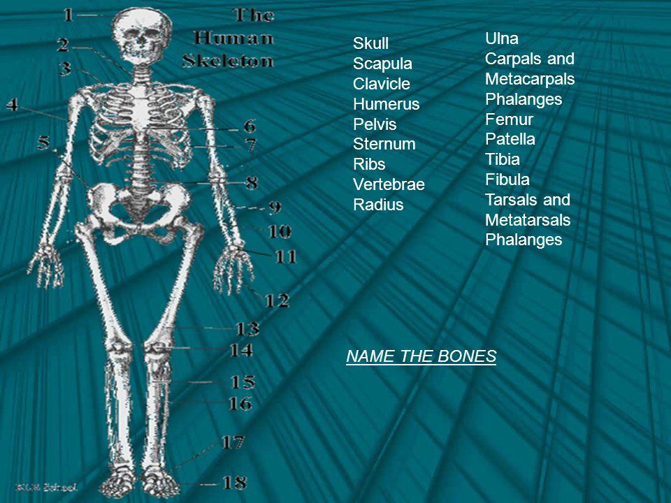 Skull Scapula Clavicle Humerus Pelvis Sternum Ribs Vertebrae Radius Ulna Carpals and Metacarpals Phalanges Femur Patella Tibia Fibula Tarsals and Metatarsals Phalanges NAME THE BONES