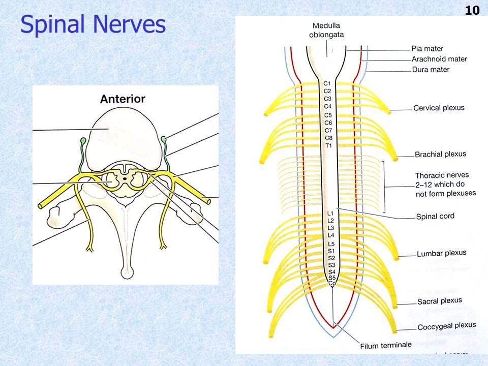 Spinal Nerves 10