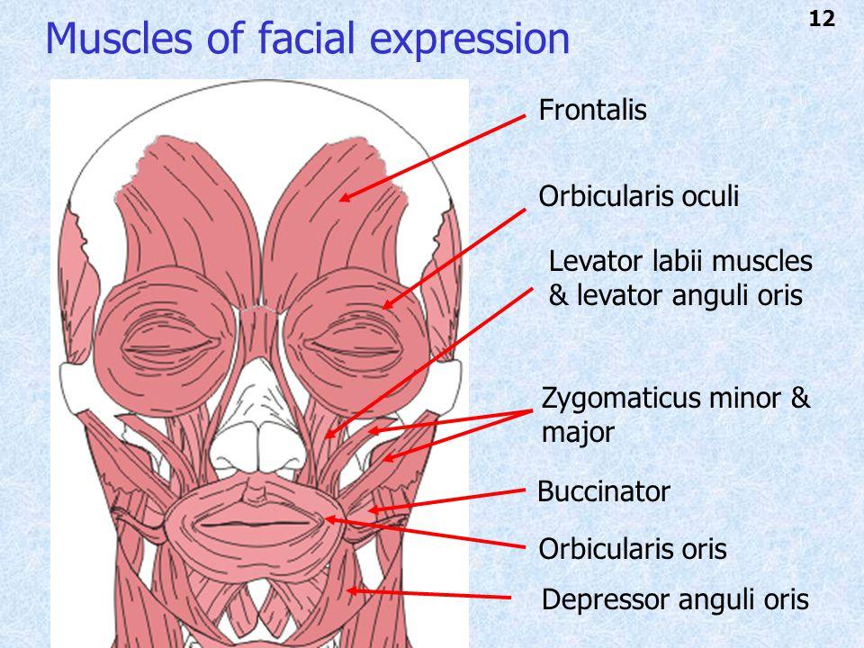 Muscles of facial expression Frontalis Orbicularis oculi Orbicularis oris Zygomaticus minor & major Levator labii muscles & levator anguli oris Depressor anguli oris Buccinator 12