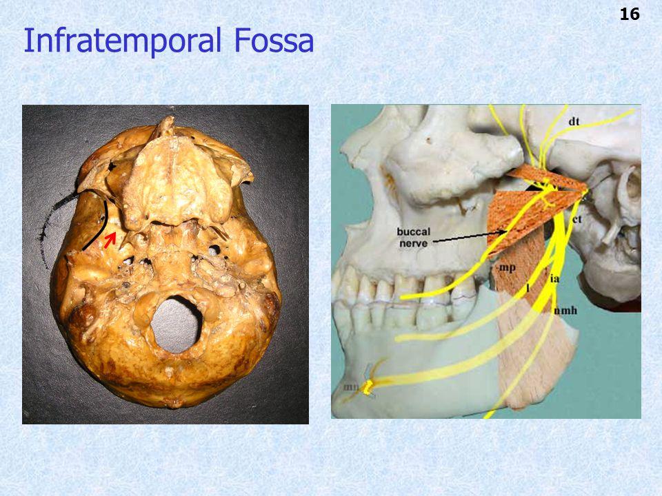 Infratemporal Fossa 16