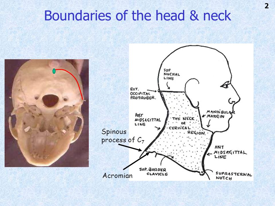 Boundaries of the head & neck Spinous process of C 7 Acromian 2