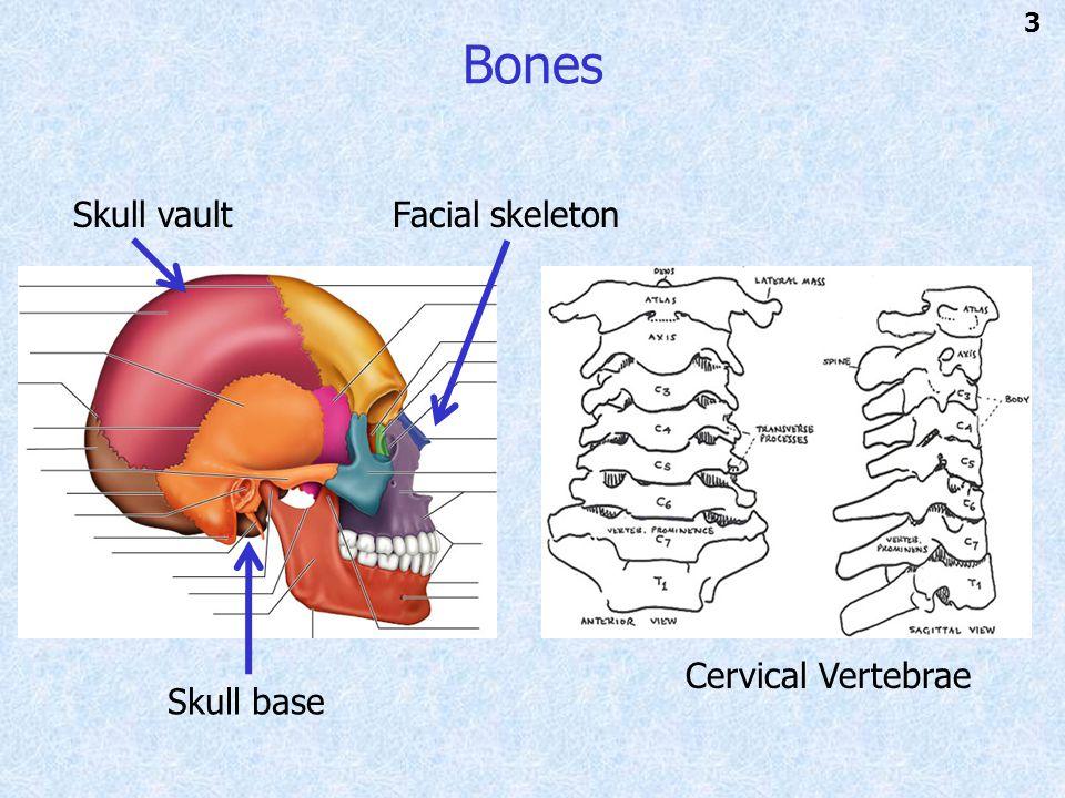 Bones 3 Facial skeleton Cervical Vertebrae Skull vault Skull base
