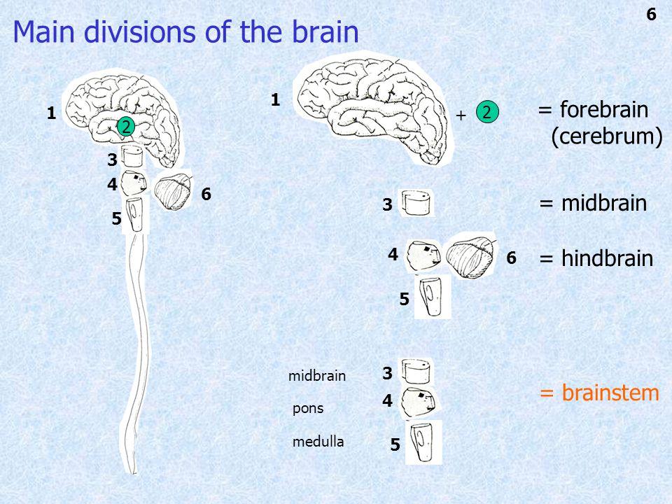 1 34 5 6 = forebrain (cerebrum) 1 5 4 3 6 2 2 + = midbrain = hindbrain 43 5 = brainstem midbrain pons medulla Main divisions of the brain 6