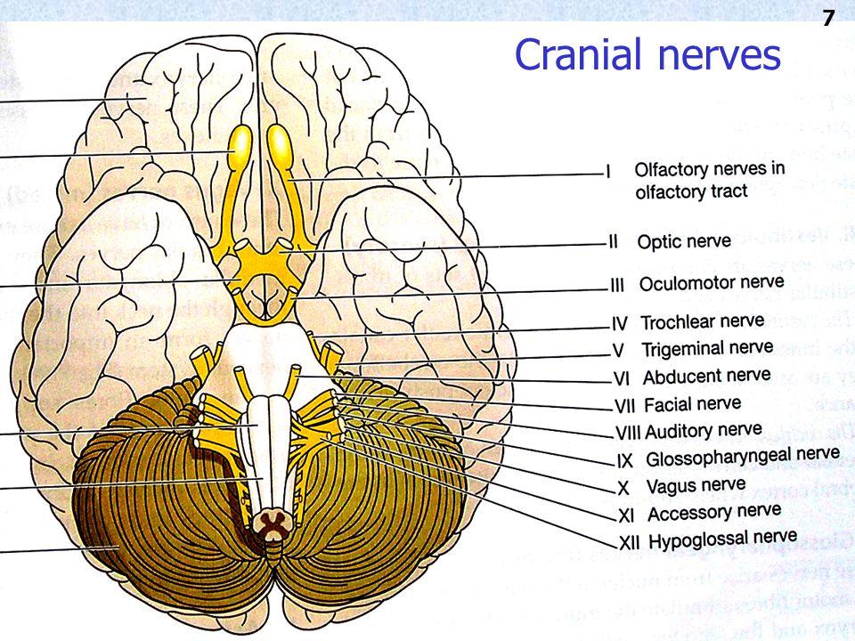 Cranial nerves 7