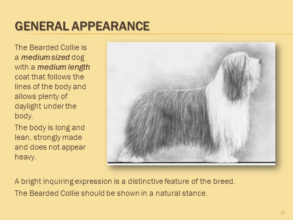GENERAL APPEARANCE 10 The Bearded Collie is a medium sized dog with a medium length coat that follows the lines of the body and allows plenty of dayli