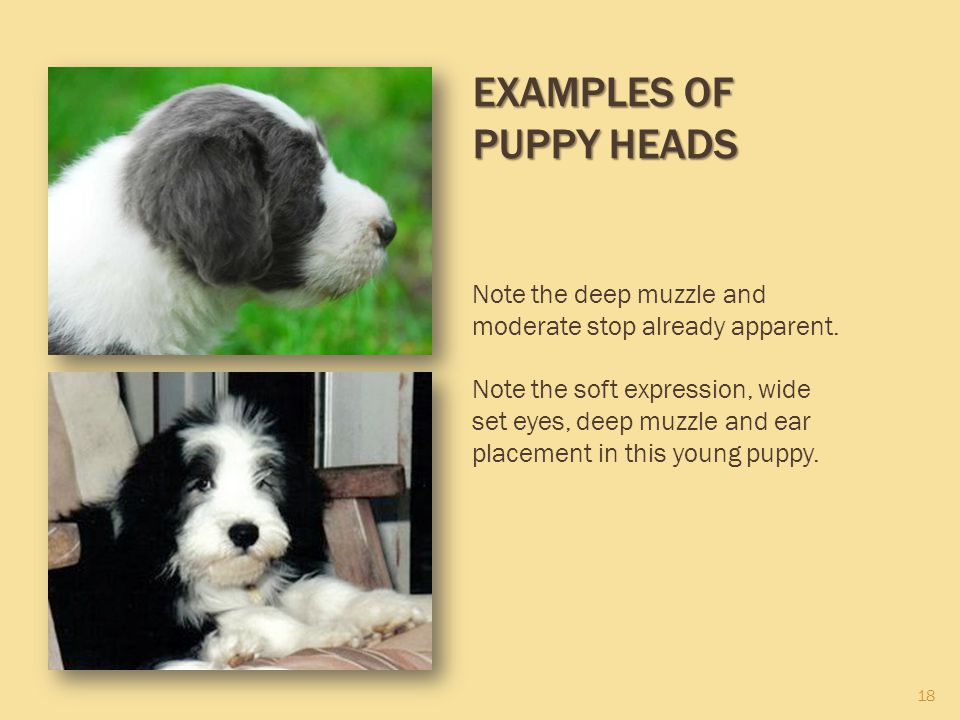 18 EXAMPLES OF PUPPY HEADS Note the deep muzzle and moderate stop already apparent. Note the soft expression, wide set eyes, deep muzzle and ear place