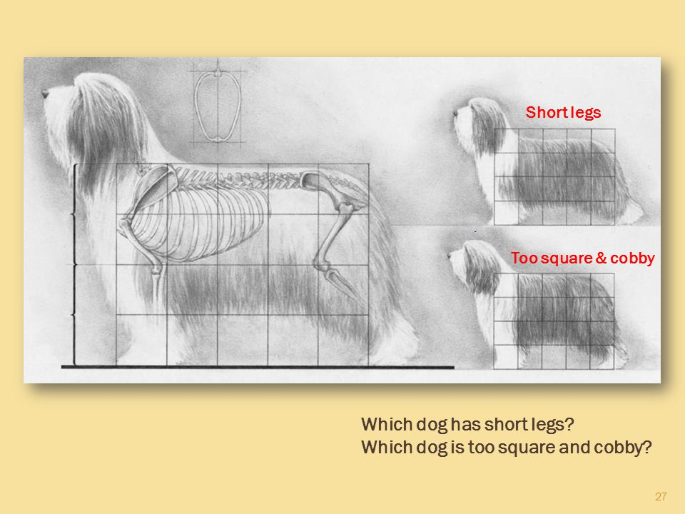 27 Which dog has short legs? Which dog is too square and cobby?. Short legs Too square & cobby