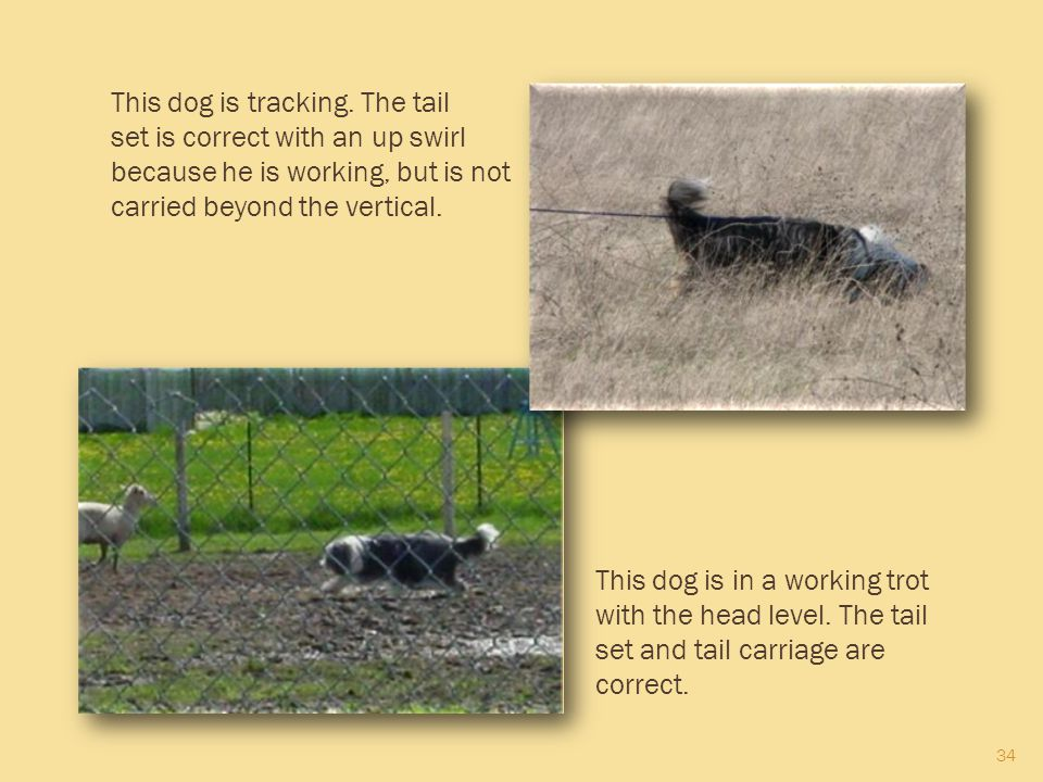 34 This dog is tracking. The tail set is correct with an up swirl because he is working, but is not carried beyond the vertical. This dog is in a work