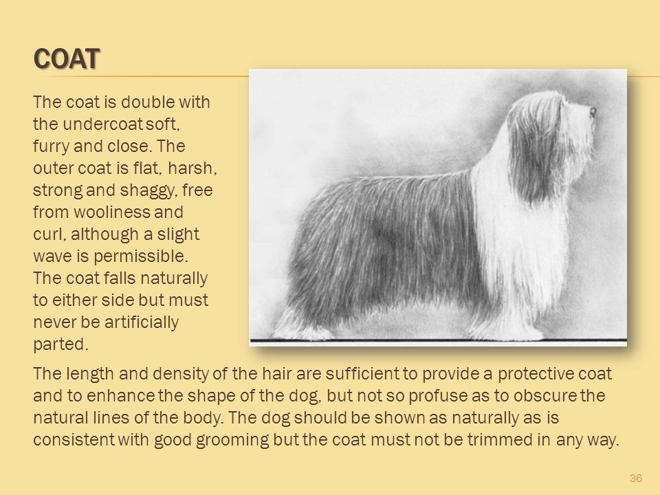 COAT 36 The coat is double with the undercoat soft, furry and close. The outer coat is flat, harsh, strong and shaggy, free from wooliness and curl, a