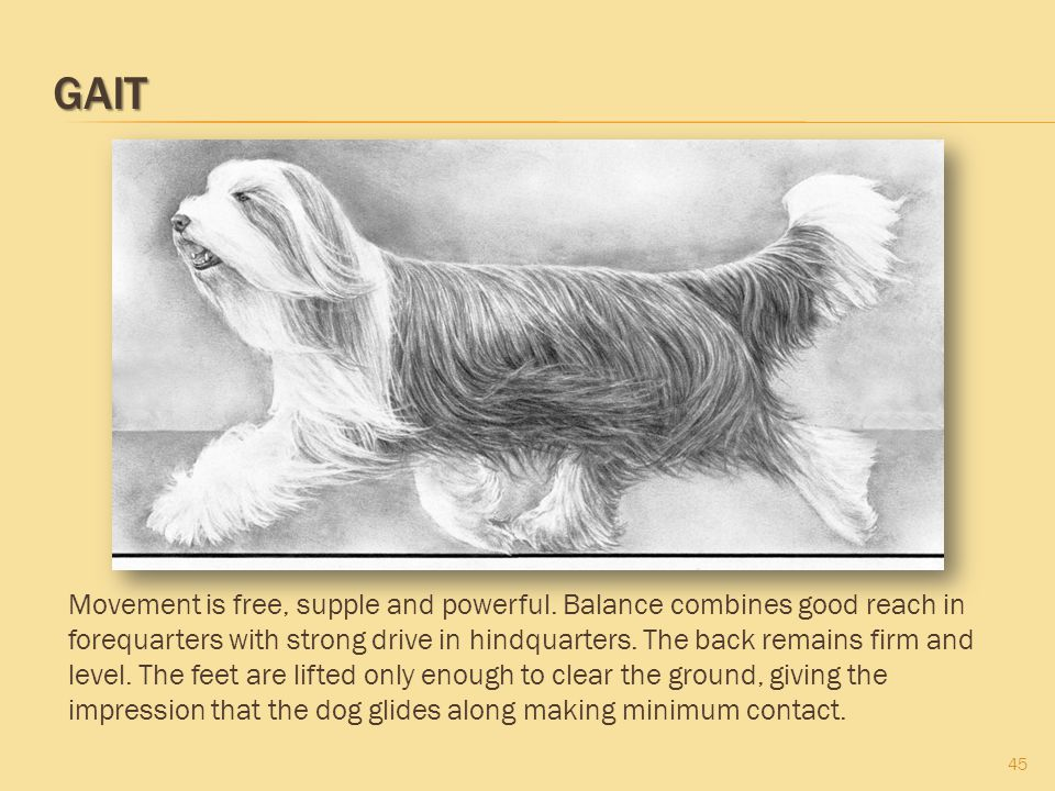 GAIT 45 Movement is free, supple and powerful. Balance combines good reach in forequarters with strong drive in hindquarters. The back remains firm an