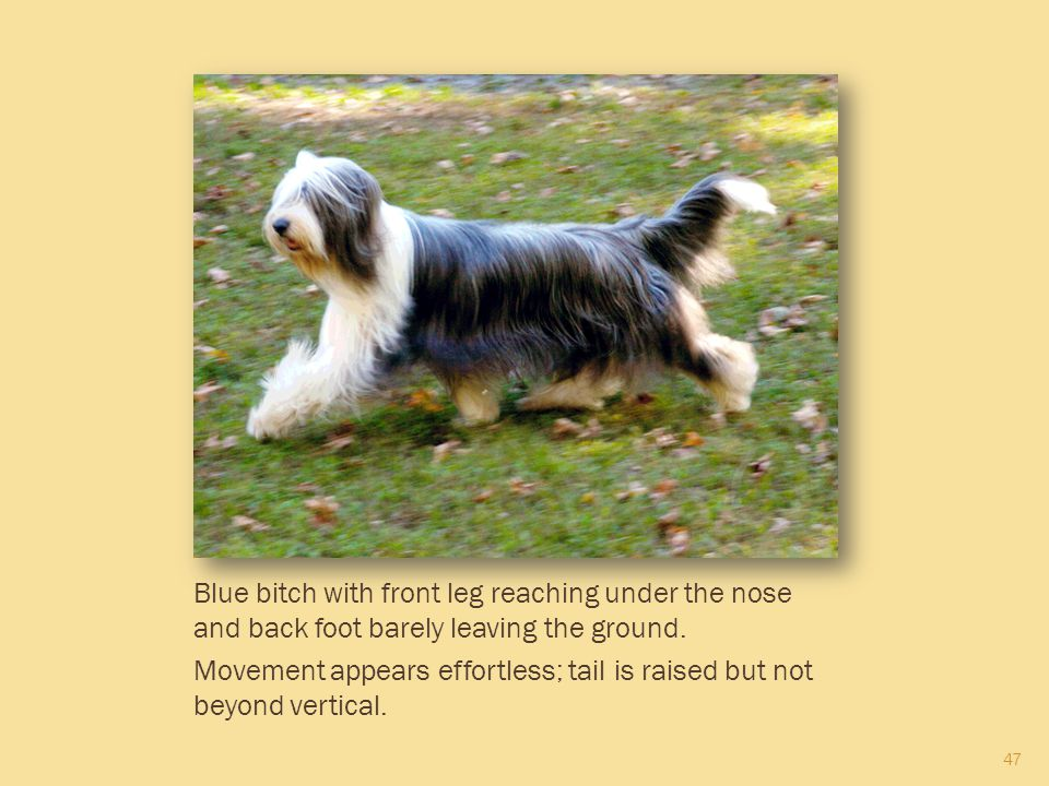 47 Blue bitch with front leg reaching under the nose and back foot barely leaving the ground. Movement appears effortless; tail is raised but not beyo