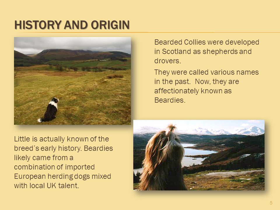 HISTORY AND ORIGIN 5 Bearded Collies were developed in Scotland as shepherds and drovers. They were called various names in the past. Now, they are af
