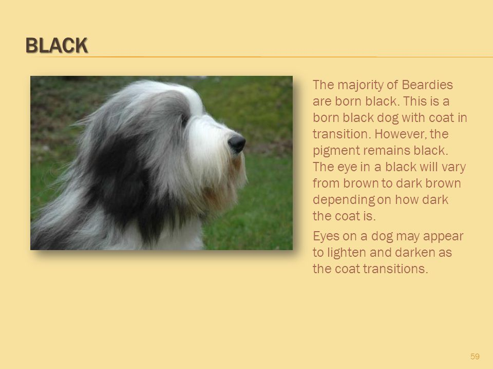BLACK 59 The majority of Beardies are born black. This is a born black dog with coat in transition. However, the pigment remains black. The eye in a b
