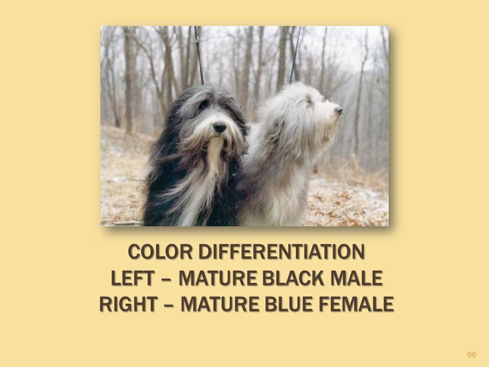 66 COLOR DIFFERENTIATION LEFT – MATURE BLACK MALE RIGHT – MATURE BLUE FEMALE