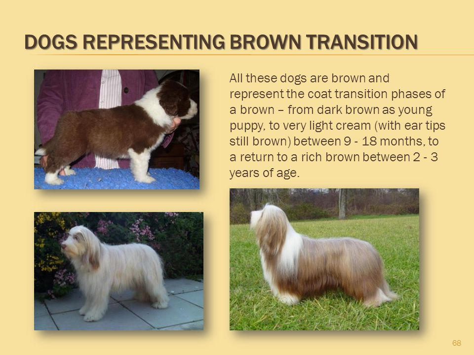 DOGS REPRESENTING BROWN TRANSITION 68 All these dogs are brown and represent the coat transition phases of a brown – from dark brown as young puppy, t