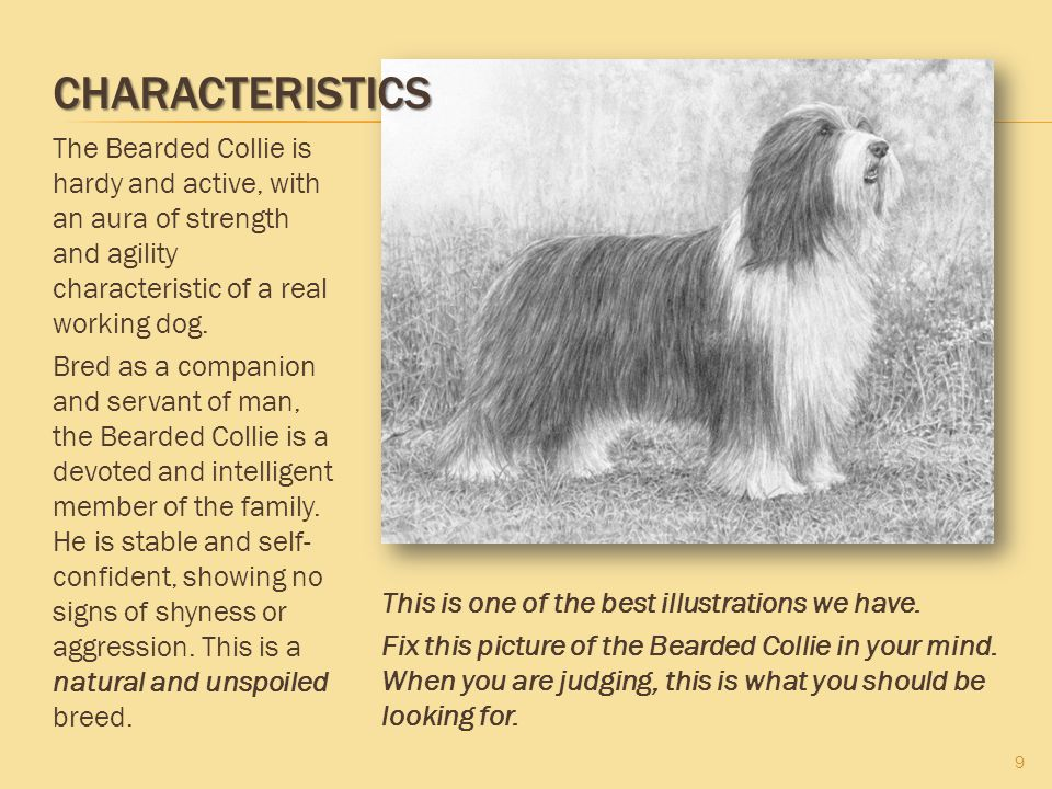 CHARACTERISTICS 9 The Bearded Collie is hardy and active, with an aura of strength and agility characteristic of a real working dog. Bred as a compani