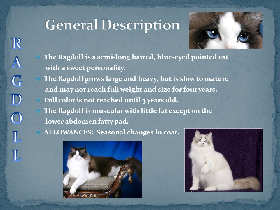  The Ragdoll is a semi-long haired, blue-eyed pointed cat with a sweet personality.  The Ragdoll grows large and heavy, but is slow to mature and ma