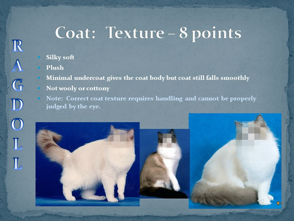 Silky soft Plush Minimal undercoat gives the coat body but coat still falls smoothly Not wooly or cottony Note: Correct coat texture requires handling